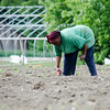 Mary Kinyua, from Kenya, work on her crops at World Farmers in Lancaster. SENTINEL & ENTERPRISE / Ashley Green