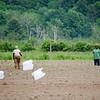 Farmers work on their crops at World Farmers in Lancaster. SENTINEL & ENTERPRISE / Ashley Green