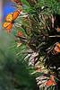 Monarchs4507
