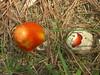American Caesar's Amanita (Amanita Caesarea, possibly Amanita jacksonii )., one sprouting from its universal veil like an egg hatching.