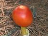 "American Caesar's Amanita (Amanita Caesarea, possibly Amanita jacksonii ).  Fatal doppleganger would be Amanita Pantherina (The Panther Amanita).<br /> Link about these mushrooms:<br />  <a href=""http://www.mushroomexpert.com/amanita_jacksonii.html"">http://www.mushroomexpert.com/amanita_jacksonii.html</a>"