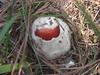American Caesar's Amanita (Amanita Caesarea, possibly Amanita jacksonii ). sprouting form its universal veil like an egg hatching.
