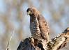 DSC_4655 Broad-winged Hawk May 14 2015