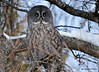 DSC_0397 Great Gray Owl Feb 6 2015