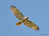 DSC_4329 Broad-winged Hawk May 13 2015
