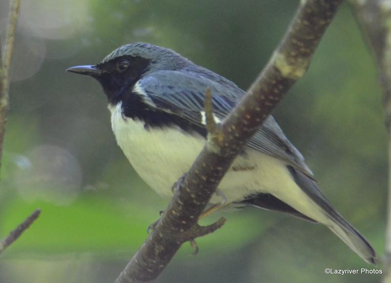 DSC_6198 Black-throated Blue Warbler June 19 2015