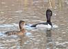 DSC_3003 Ring-necked Ducks Apr 17 2015
