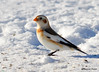 DSC_0187 Snow Buntings Jan 21 2015