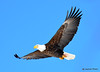 DSC_1976 Bald Eagle Mar 19 2015