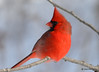 DSC_0431 Northern Cardinal Feb 6 2015