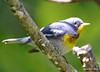 DSC_6212 Northern Parula June 19 2015