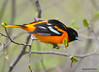 DSC_4279 Baltimore Oriole May 13 2015
