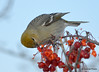 DSC_0500 Pine Grosbeak Feb 6 2015
