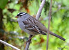 FSC_3414 White-crowned Sparrow Oct 20 2015