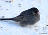 DSC_1474 Dark-eyed Junco Feb 23 2015