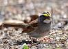 DSC_4097 White-throated Sparrow May 6 2015