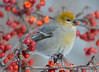 DSC_0527 Pine Grosbeak Feb 6 2015