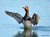 DSC_5796 Redhead Duck June 4 2015