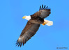 DSC_1977 Bald Eagle Mar 19 2015