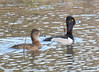 DSC_3002 Ring-necked Ducks Apr 17 2015