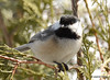 DSC_2186 Black-capped Chickadee Mar 25 2015