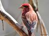 DSC_4118 Purple Finch May 6 2015