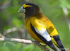 DSC_4400 Evening Grosbeak May 13 2015