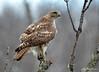DSC_3063 Red-tailed Hawk Apr 20 2015