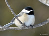 DSC_0457 Black-capped Chickadee Feb 6 2015