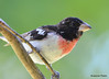 DSC_6358 Rose-breasted Grosbeak June 24 2015