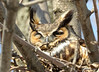 DSC_2426 Great Horned Owl Apr 3 2015