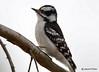 DSC_2586 Downey Woodpecker Apr 8 2015