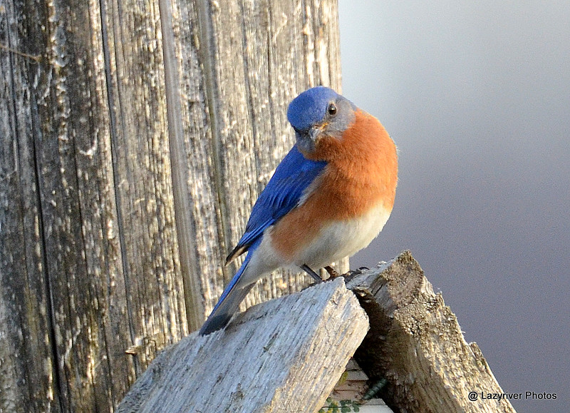 DSC_2993 Eastern Bluebird Apr 17 2015