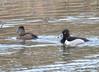 DSC_2996 Ring-necked Ducks Apr 17 2015