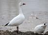 DSC_2944 Snow Geese Apr 16 2015