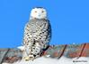DSC_0321 Snowy Owl Feb 1 2015