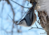 DSC_0200 White-breasted Nuthatch Jan 21 2015