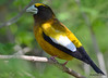 DSC_4385 Evening Grosbeak May 13 2015