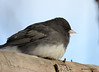 DSC_1477 Dark-eyed Junco Feb 23 2015
