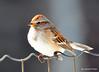 DSC_1526 American Tree Sparrow Feb 25 2015