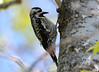 DSC_4480 Yellow-bellied Sapsucker May 14 2015
