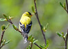 DSC_4315 American Goldfinch May 13 2015
