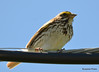 DSC_6171 Savannah Sparrow June 19 2015