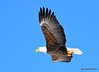 DSC_1979 Bald Eagle Mar 19 2015