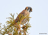 DSC_2674 American Kestrel Apr 9 2015