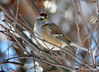 DSC_0160 American Tree Sparrow Jan 21 2015