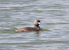 DSC_5543 Pied-billed Grebe June 4 2015