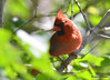 DSC_5348 Northern Cardinal June 3 2015