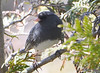DSC_2719 Dark-eyed Junco Apr 14 2015