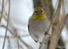 DSC_1006 American Goldfinch Feb 8 2015